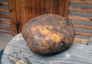 Lite av ett säsongsrekord är denna klump på 814 gram.