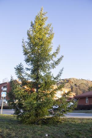 Julgranen som nu står i Ljusne har ännu inte fått någon belysning.