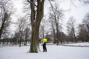 Almen är ett av de största träden i Gävle och många har för länge sedan passerat hundraårsstrecket.