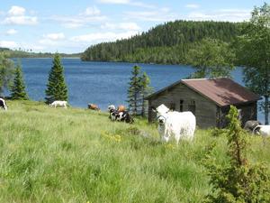 En bild från Nysjöns fäbod i Dalarna får symbolisera förbundets arbete för ett levande fäbodbruk med bland annat stor biologisk mångfald.