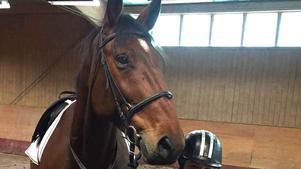 Hästen Samson.