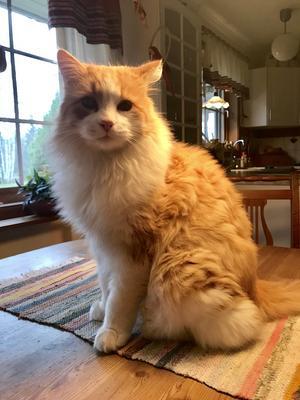 Katten med den stora personligheten, som en liten hund. Han heter Kurre men kallas Jidde till vardags. Bild: Börje Sjöberg