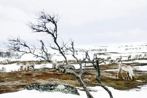 Renarna längtar till sommarbeteslandet. Foto: Henrik Flygare
