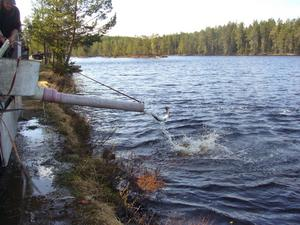 Inför Dammsjödagen på lördag har föreningen fyllt på ädelfisk. Bild: Privat