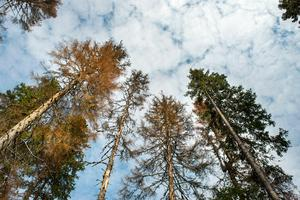 Granskog är granbarkborrens favorit. Bild: Jan Olby.