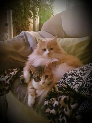 99) Teddy och Tosca är mina lussekatter❤ Foto: Lizen Sjöberg