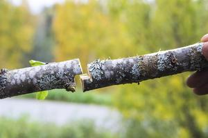 En bra sätt att angripa en grövre gren är att göra ett omlott-skär, ett så kallt step cut. Börja såga ovanifrån ungefär in till mitten och såga sedan från andra hållet så grenen går av på mitten.