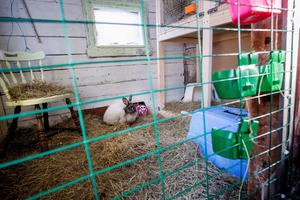 I uthuset har Anette Sjölund inrett flera avdelningar för sina kaniner, med hö och matskålar och stolar att sitta på.Billstabyns Regina är en angora i färgen viltblå.
