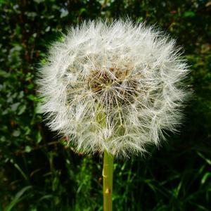 Ogräsets skönhet! En maskros innan fröna hunnit lämna sin plats. Medge att även ett hatat ogräs kan ha en viss skönhet!