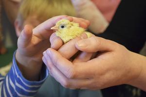 Kom och se levande kycklingar på biblioteket i Timrå.