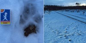 Naturbevakaren från länsstyrelsen konstaterade att det fanns spår av fem vargar i ett område mellan Åmot och Källsjön i Ockelbo kommun. Bild: Länsstyrelsen Gävleborg