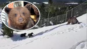På måndagen tog de tre björnungarna i Orsa Rovdjurpark sina första steg i snön. OBS: Den infällda bilden föreställer en björnunge av äldre årgång.