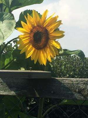 En av tre vackra solrosor vi har har i trädgården i Möklinta. Foto: Sten Eriksson