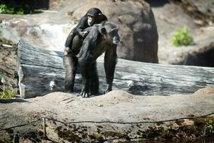 Att schimpanser adopterar andras ungar är inte helt vanligt. Linda är nu inne på sin tredje. Här på bilden har hon en liten Manda på ryggen, vars mamma hade dött på en annan djurpark.