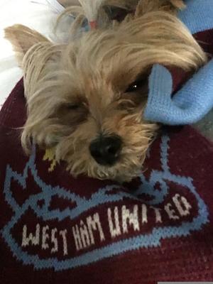 Om bilden: Den härliga hundtjejen Lilja gillar att kolla på sport med husse och då framförallt fotboll. Hon är kanske inte den piggaste supportern.Annars gillar hon att ligga i sängen och chilla. Hon är även duktig på att sjunga. Foto: Patrik Ekholm