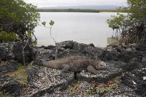 En havsleguan på Galapagos. Bild: Kirsten Johnson/AP Photo/TT