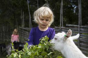 Innan de skulle släppa ut killingarna passade de på att mata dem. Siri Liljeberg bjöd på björkris.