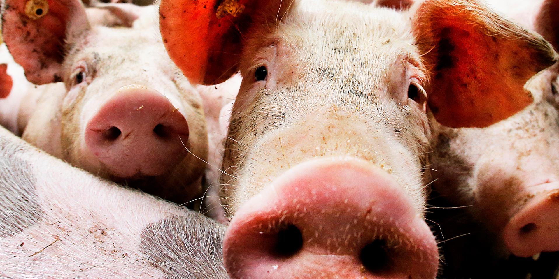 Brandmannen raddade grisar brand at upp dem