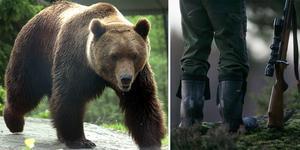 48 björnar ska skjutas i Dalarna i samband med årets licensjakt. Bilden är ett montage.