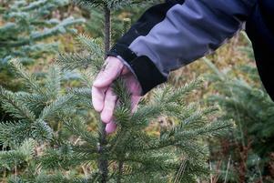 Per-Olov Westberg odlar även fjällädelgran och jultallar i liten skala.
