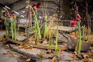 Karusellen har slutat snurra, men amaryllis tränger sig upp till ljuset. Foto: Simon Nilsson-Larsson