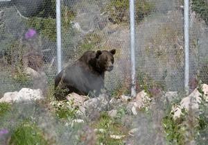 En björn vid ett av de stora stängslen.