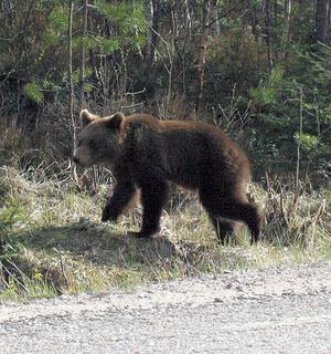 Björnjakt förbjuds efter att slaktavfall hittats i Roskölens viltvårdsområde.