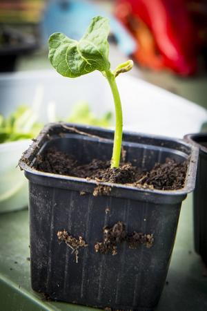 Om man vill så från frön är det dags att så redan under vintern. Men köper man färdigt är det inte försent att göra vårfint i växthuset.