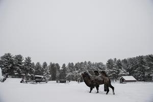 Den sibiriska kamelen trivs bra i snön.