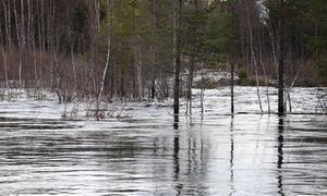 Vid Ljungans utlopp från Ångesjön står flera träd numera långt ut i vattnet.