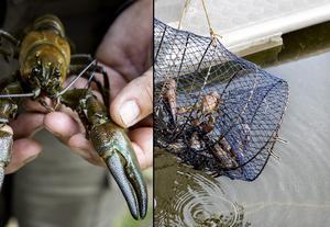 För att undvika spridning av kräftpest, är det av stor vikt att fiskeredskapen är rena. Det är dessutom inte tillåtet att plantera ut signalkräfta i svenska vattendrag.Foto Christine Olsson / SCANPIX