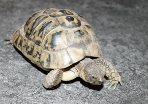 Den tunisiska minisköldpaddan Mauritz bor också hemma hos familjen.