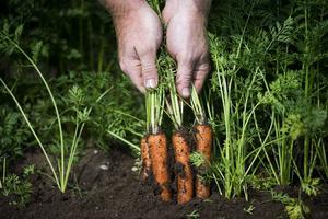 Egen odling är bra för jorden, plånboken och själen. Bild: Carina Johansen