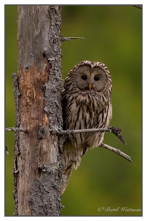 Jag var ute på skogsvägar i Arbrå området på onsdagskvällen 16/6 för att titta om jag såg någon uggla då fick jag se denna fina slaguggla som också är Hälsinglands landskapsfågel.