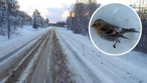 Hundratals gråsiskor låg döda längs med Gottnevägen.Bild: Mikael Lind/läsarbild