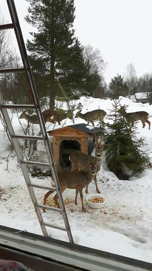 Rådjuren utanför Elsas köksfönster.