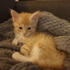 283) Detta är våran lilla Main Coon Melker  kille på 12 veckor. Han kom som en räddande ängel till oss då vi tyvärr förlorade en katt som blev påkörd. Foto: Lena Bergström
