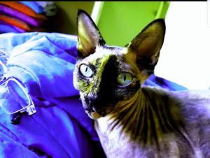 346) Detta är Umilum. Hon är syster till Amina och också av rasen sphynx. Men denna dam älskar fart och fläkt. Blir det tråkigt klättrar hon på Tv:n eller leker med tavlorna. Hon är mer som en hund än katt. Givetvis är hon helt underbar. Vinner hon delar hon vinsten med sina vänner som hon bor med. Foto: Ann-Chatrine Larsson