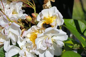 Det finns gott om humlor och bin på koloniområdet.