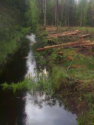 Skogsavverkning.