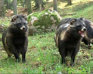 Vi vill inte ha mårdhundar till Västernorrland. De både sprider smitta som bandmaskar och rubbar ekosystemet. Bild: Fritz Schibli/TT Arkiv