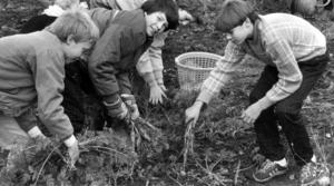 Fina morötter lyckades eleverna odla upp enligt ÖP. Från vänster Olof Källström, Peter Evaldsson och Christer Bergqvist skördade.