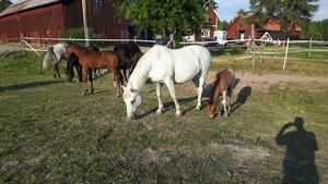 Hästarna mamma Tequila och dartmoorfölet Spirit of Heron på bete bland de andra hästarna. Foto: Privat