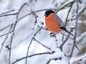 Domherre, hane:(Pyrrhu´la pyrrhu´la) Art i fågelfamiljen finkar. Den blir 16 centimeter lång, har svart och grå översida och vit övergump; hanen är vackert röd på undersidan medan honan är gråbrun där. Den häckar i djupa barrskogar och är då svår att komma in på livet. På vintern är den en välkommen och ofta sedd gäst på fågelborden. Den livnär sig av bär, knoppar och frön.