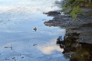 Ett stycke ut, intill några större flytande klumpar av sörja, sticker en bröstfena på en död gädda upp ur vattnet.