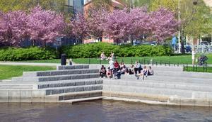 Många Sundsvallsbor har i dag på lunchen slagit sig ned kring Selångersån bland blommande körsbärsträd.