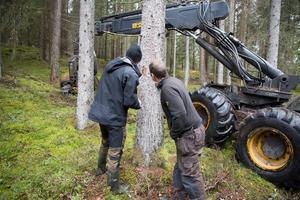 Skogsförvaltare Johan Persson och entreprenören Osky Varis letar efter granbarkborrar i ett angripet träd.