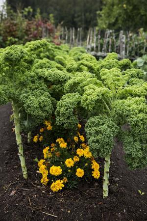 I landen växer det så det knakar – rotselleri, mangold, morot, bönor... tagetes håller skadedjur borta.