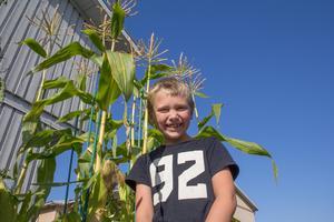 Majsen växer hög på Ribbans gård. Men snart ska Milio och hans odlarkompisar skörda och grilla den!