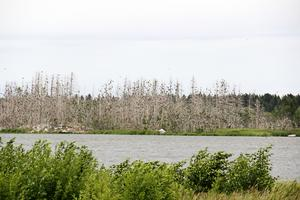 Tusentals skarvar har bosatt sig på Själön utanför Karlholmsbruk.
